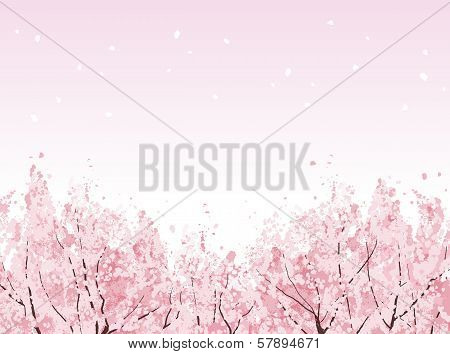 Full Bloom Of Beautiful Cherry Blossom Trees