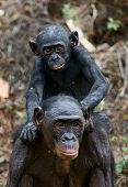 stock photo of chimp  - Bonobo Cub on brachiums at mother - JPG