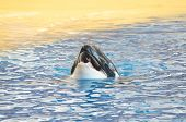 pic of orca  - Orcinus Orca Whale on a very Blue Water - JPG