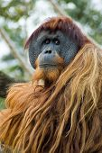 pic of sad face  - This Orangutang looks so sad - JPG