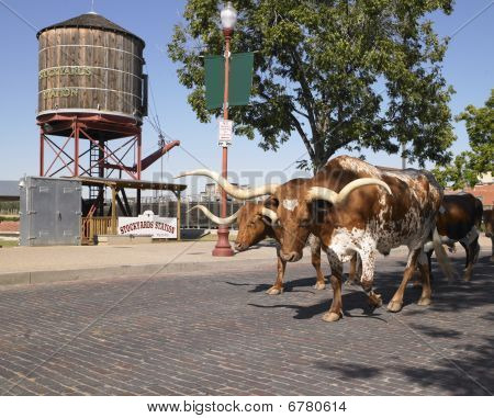 Longhorns Walking Down Street