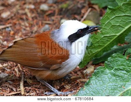 White crested laughing thrush (Garrulax leucolophus) Bird eating with cricket in beak