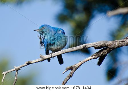 Mountain Bluebird Scratching An Itch