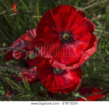 A field of bright red poppies
