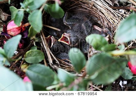 Baby Sparrows In A Nest