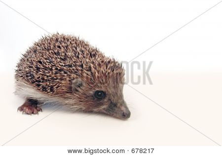 Hedgehog Over White