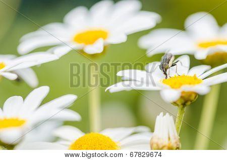 White Daisy Or Leucanthemum Vulgare