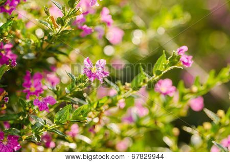 Pink Cuphea Hyssopifolia Or False Heather Or Mexican Heather Or Hawaiian Heather Or Elfin Herb Flowe