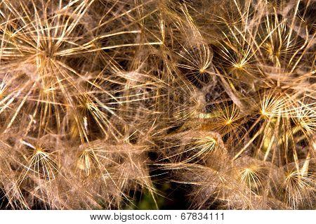 Common Dandelion Background