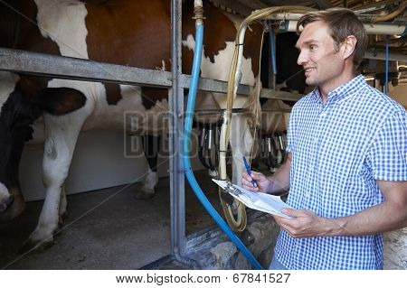 Farmer Inspecting Dairy Cattle In Milking Parlour