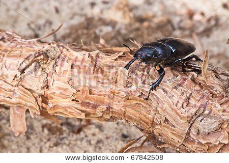 Female Of Beetle