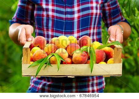 Gardener Holding A Crate Of Summer Fruit, Ripe Peaches