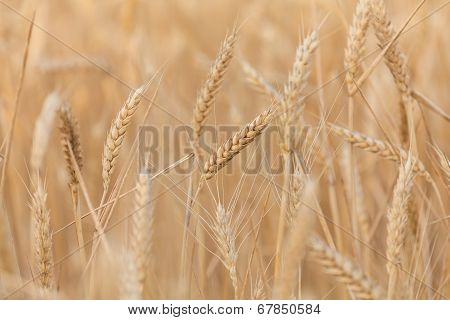 Wheat Ears Close-up
