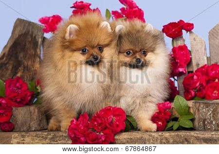 pomeranian spitz puppies and flowers roses