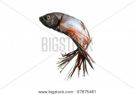 Siamese Fighting Fish isolated on white: Clipping path included