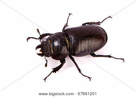Female Stag Beetle Isolated On White.