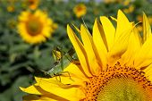 picture of locusts  - Locust on sunflower  - JPG