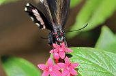 stock photo of postman  - Red Postman Butterfly  - JPG