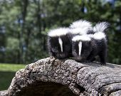 stock photo of skunk  - Pair of baby skunks - JPG