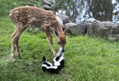 stock photo of skunks  - Young whitetail fawn checking out a pair of baby skunks.