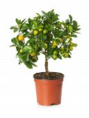 picture of tangerine-tree  - tangerine tree in the pot on the white background - JPG
