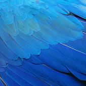 image of feathers  - Pattern blue bird feathers Blue and Gold Macaw feathers texture background - JPG