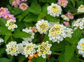 foto of lantana  - Lantana camara Linn flowers in the garden - JPG