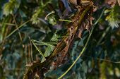 image of locust  - Locusts eat of green leaves of plants - JPG