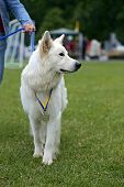 foto of swiss shepherd dog  - Swiss Shepherd dog at a dog show in the spring - JPG