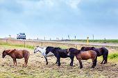 stock photo of iceland farm  - Icelandic Ponies enduring wind and rain - JPG