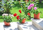 stock photo of geranium  - Outdoor flowerpots - JPG