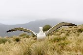 pic of albatross  - Southern Royal Albatross spreading his wings against the wind  while standing in Tussock grass - JPG