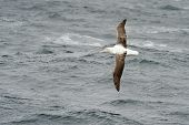 stock photo of albatross  - Southern Royal Albatross in flight above water surface - JPG