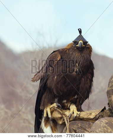 Hunter With A Golden Eagle (aquila Chrysaetos). Kazakhstan, Mongolia.