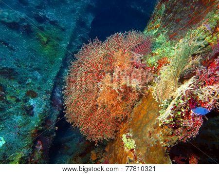 Gorgone coral
