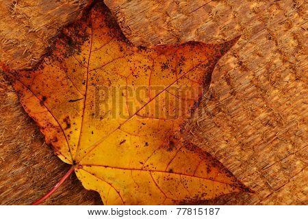 Leaf Of Maple