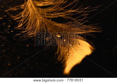 Yellow Feather With Water Drops