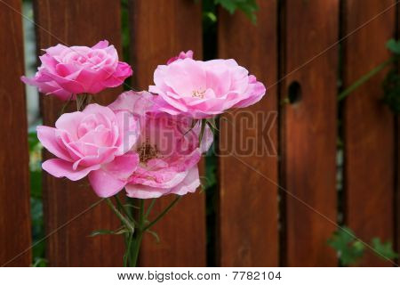 White Pink Rose Fence