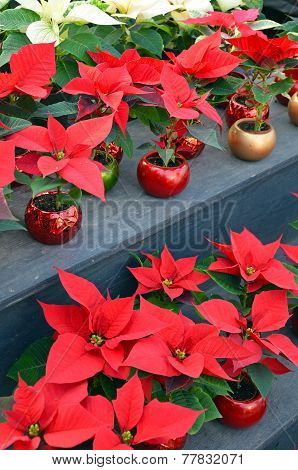 Red And White Poinsettia Flowers