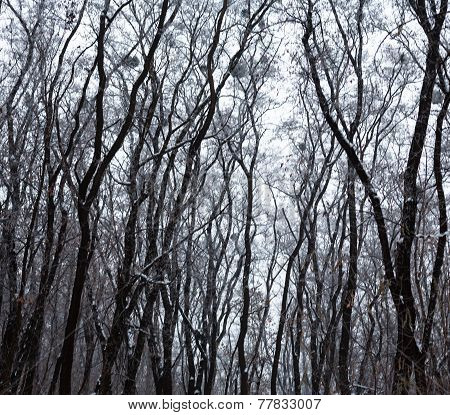 Leafless Trees Covered With Hoarfrost