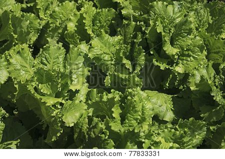 Bed with lettuce.