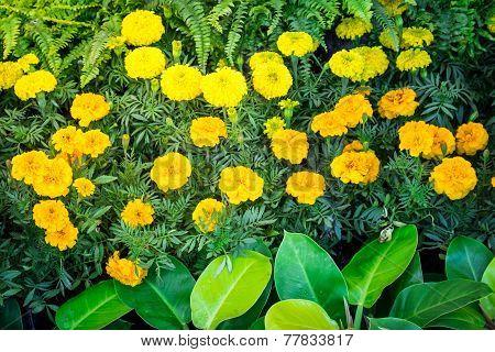 Marigold Flowre On Bed In Garden