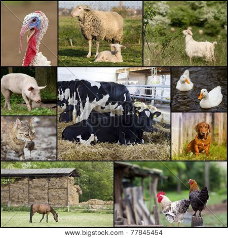 Domestic Farm Animals