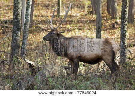 Elk Stag in the Woods