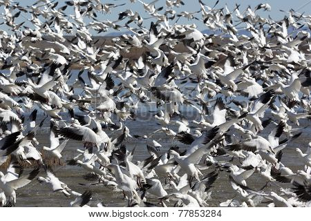 Astounding Flock Of Snow Geese Rises Upward