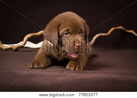 Chocolate labrador puppy lying on a brown background