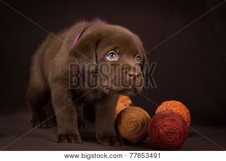 Chocolate labrador puppy standing on a brown background
