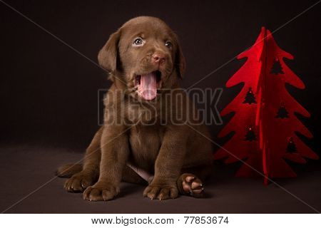 Chocolate labrador puppy sitting on brown background near the Christmas tree and yawns