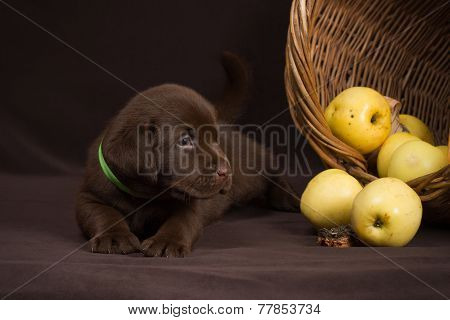 Chocolate labrador puppy lying on a brown background near basket of apples and looking away