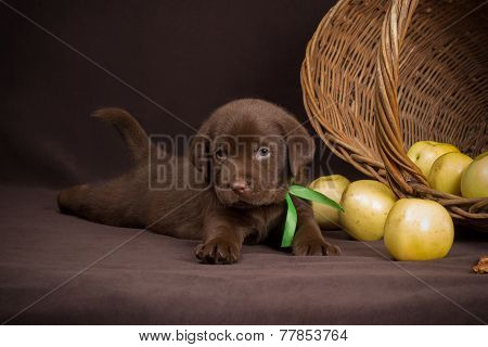 Chocolate labrador puppy lying on a brown background near basket of apples and looking at the camera
